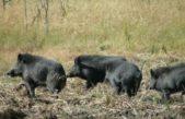 El INTA busca sumar al chancho costero a la producción porcina nacional