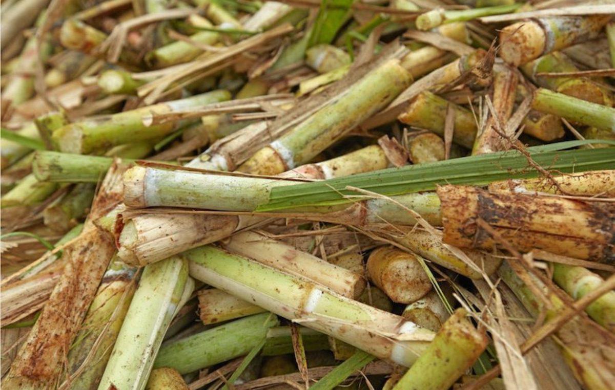 Científicos de la UNLP reutilizarán residuos de la caña de azúcar para descontaminar un arroyo