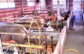 A través del MEGABA, la provincia renueva apoyo financiero para pequeños productores bovinos y porcinos